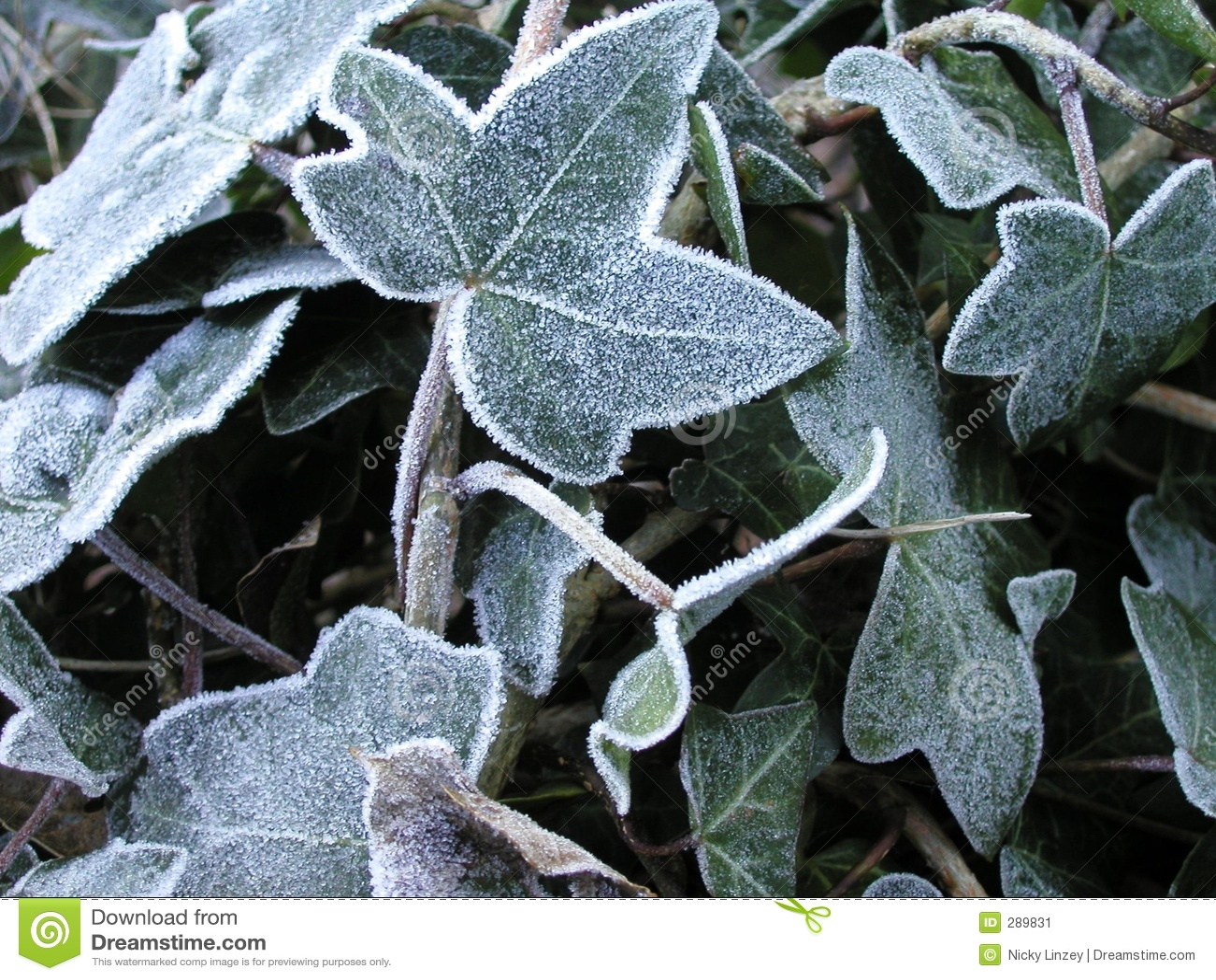 Frostiga leaves