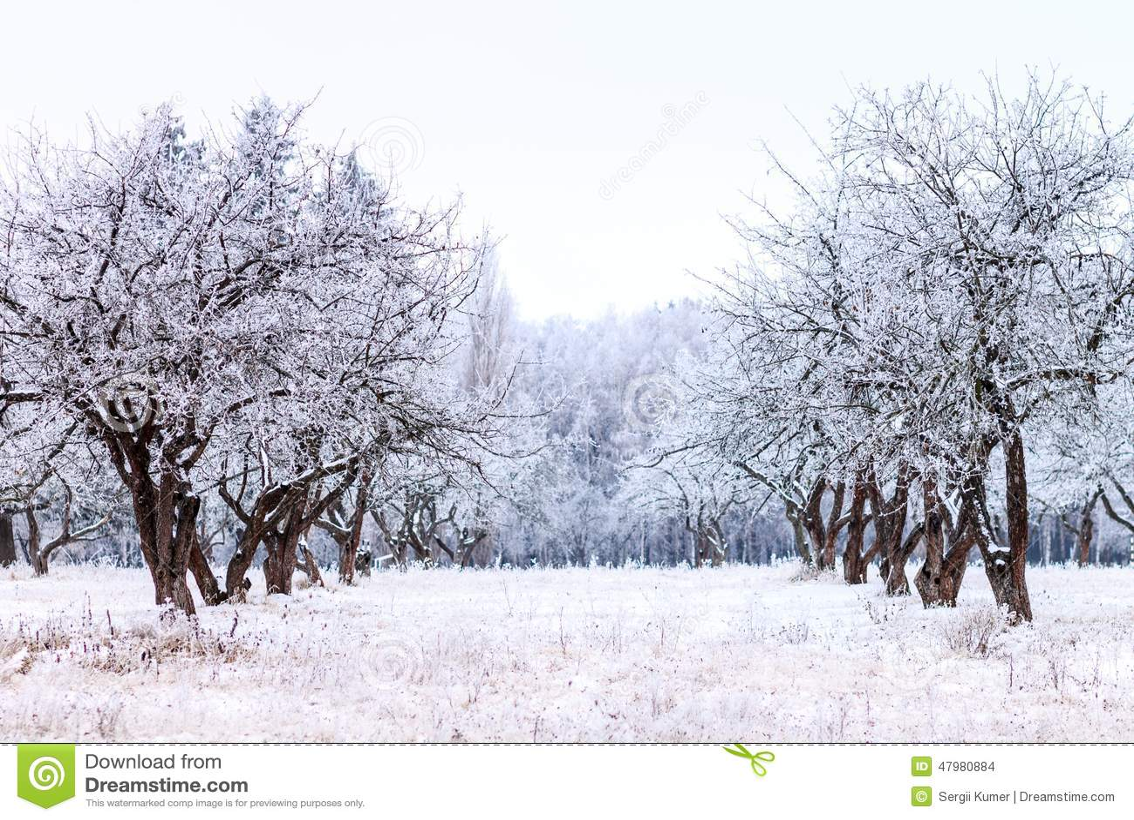 frosty apple tree garden in winter morning stock photo image