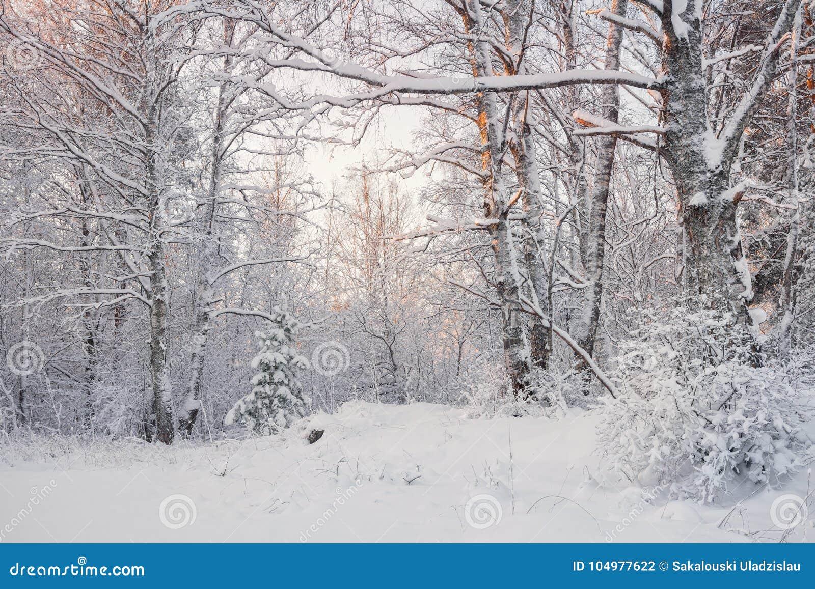 Frosty Landscape In Snowy ForestWinter Forest Landscape Schöner Winter-Morgen in einer schneebedeckten Birke Forest Snow Covered