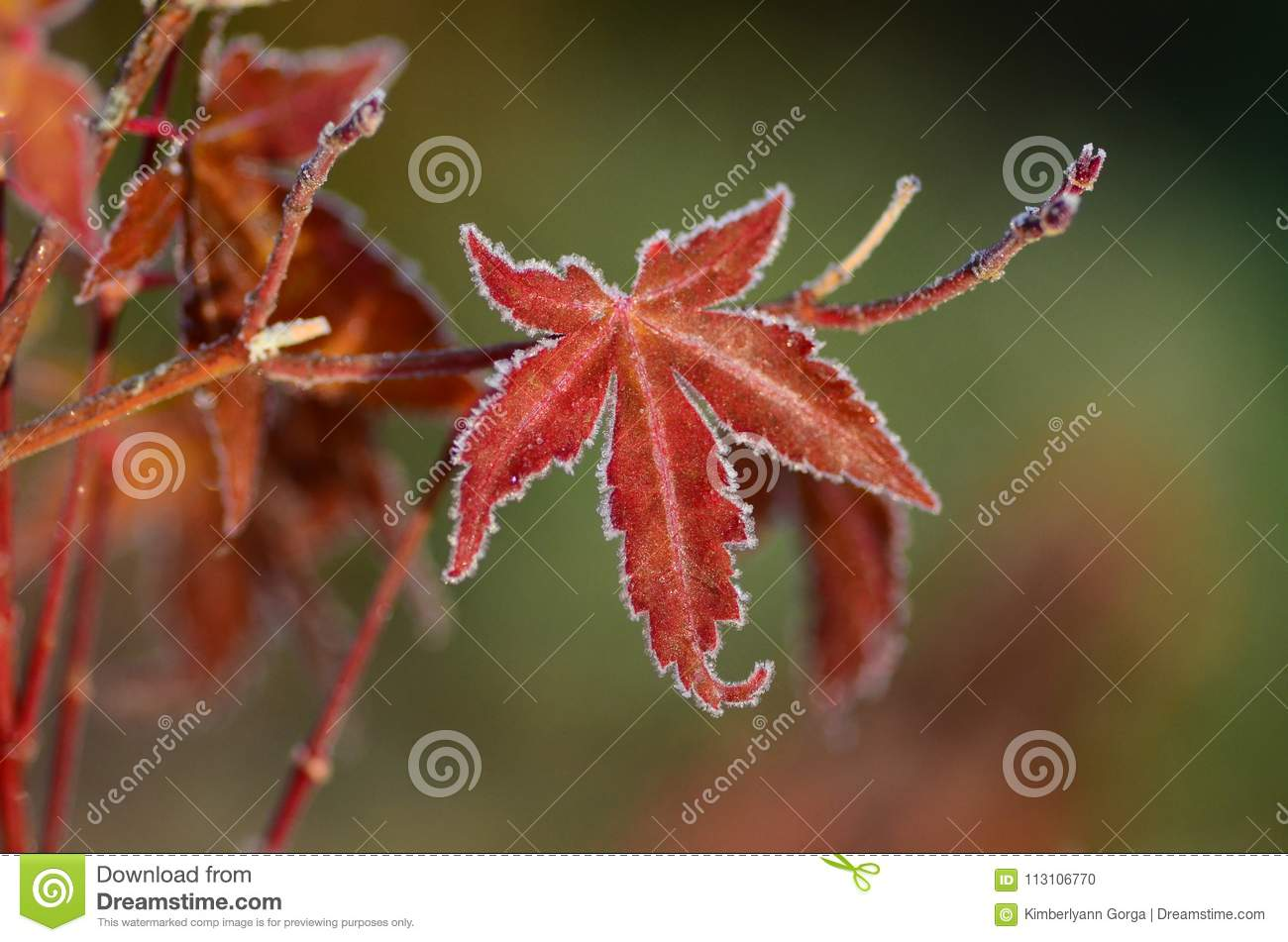 Frosty Red Maple Leaf