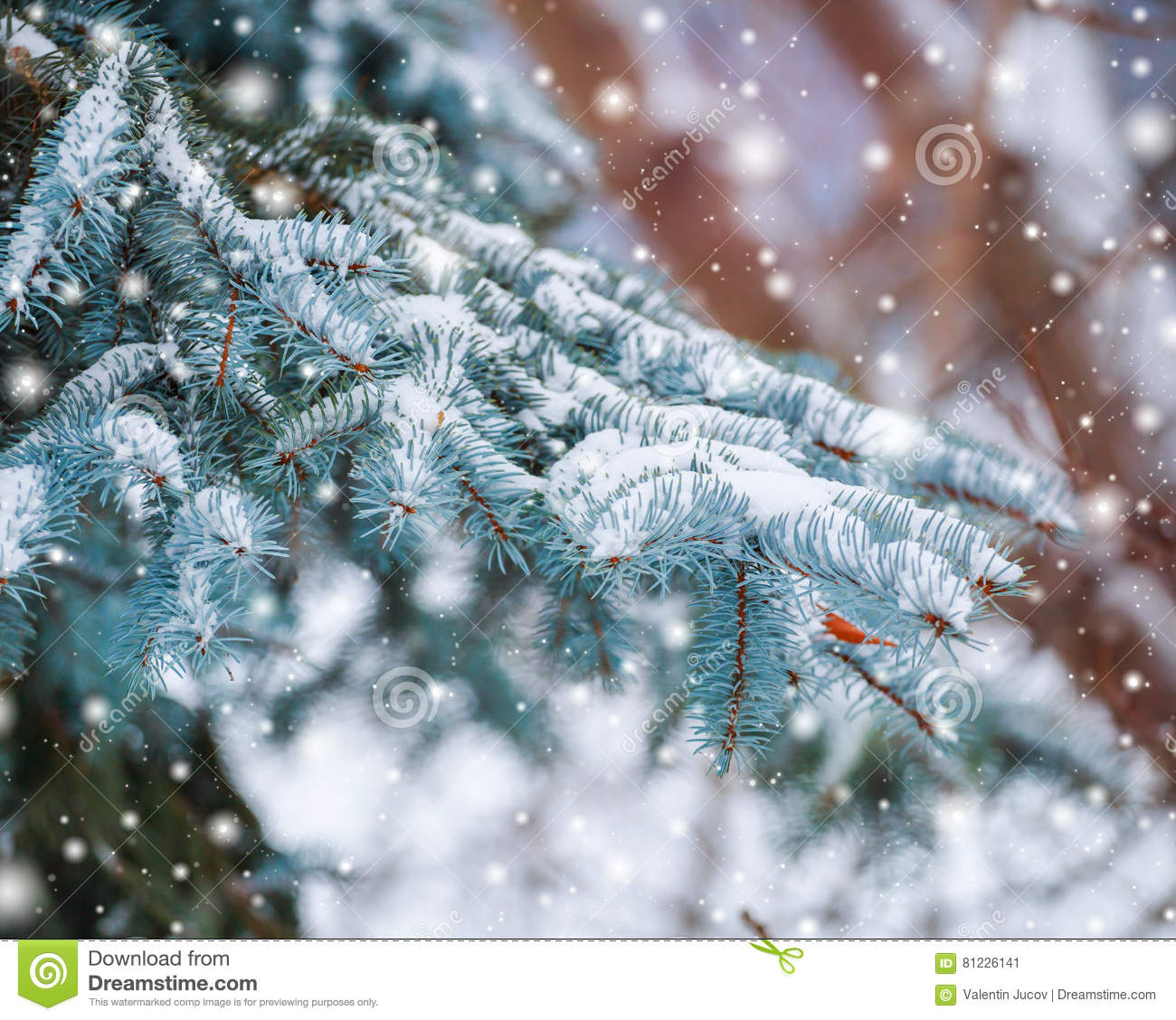 Frosty winter landscape in snowy forest. Pine branches covered with snow in cold winter weather. Christmas background with fir