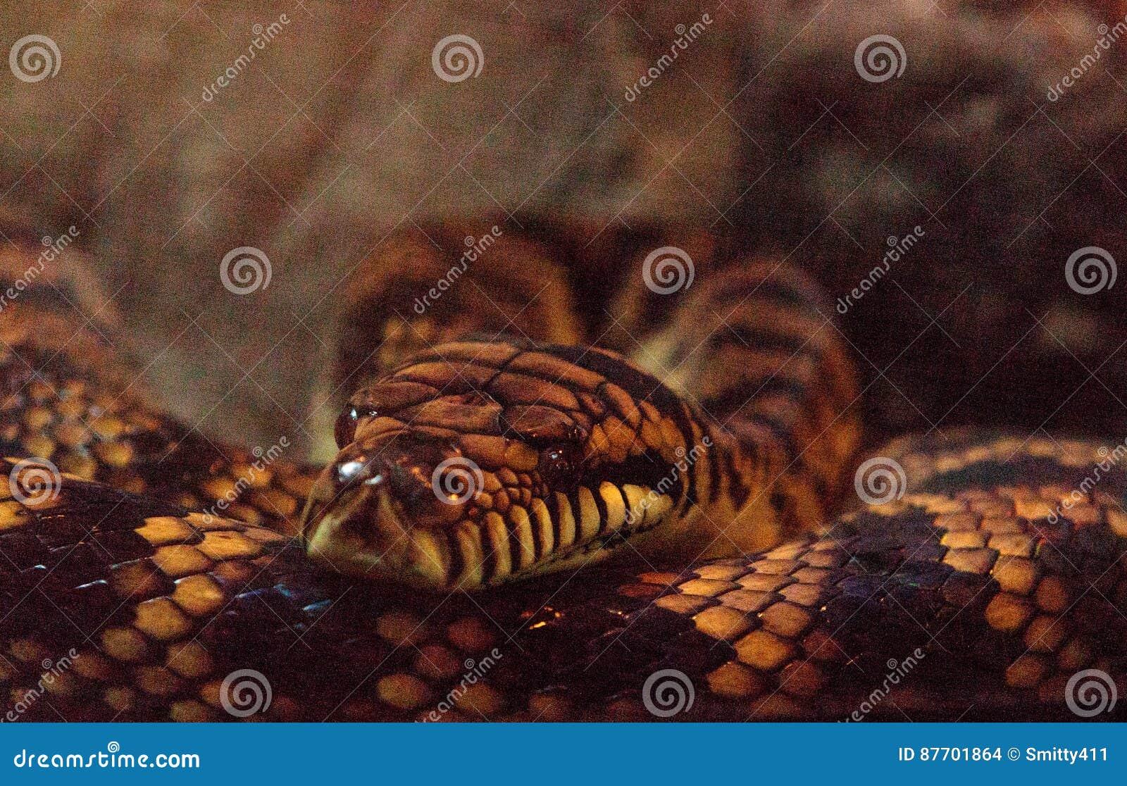 Frottez le python connu sous le nom d amethistina de Morelia