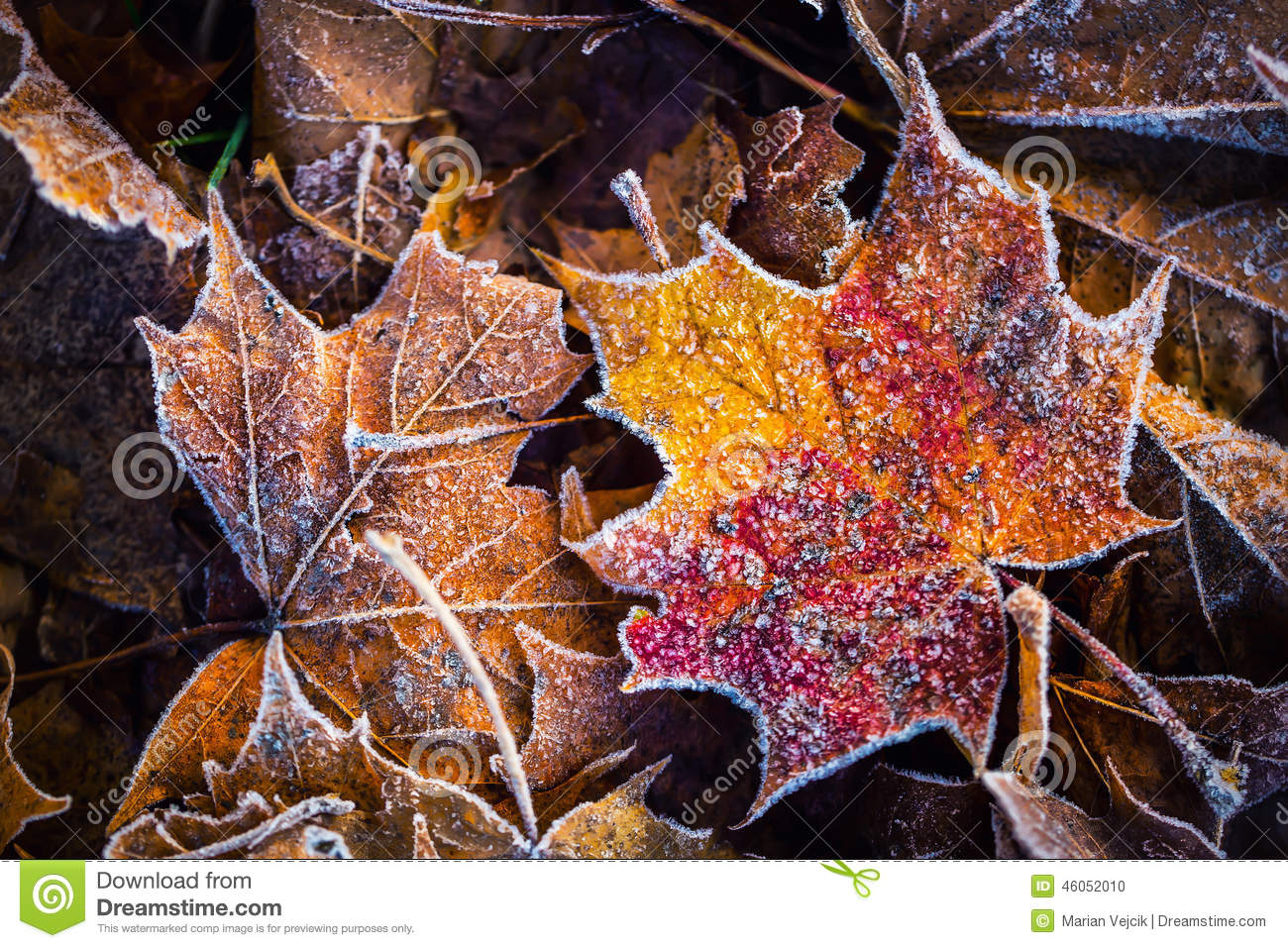 Frozen autumn frost cold morning ice maple leaves