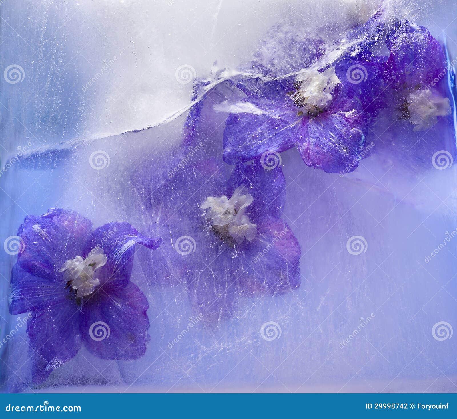 Frozen Blue Delphinium Flower Stock graphy Image