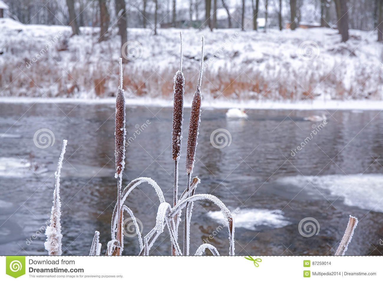 Download Frozen Cane In A Cold Winter Stock Photo - Image of wood, river: 87259014