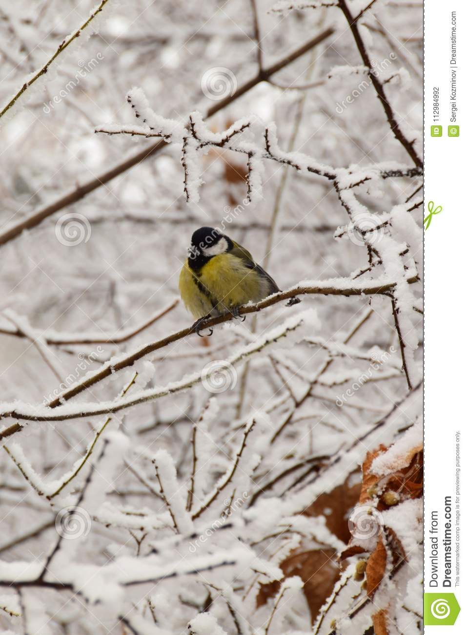 Frozen yellow Caucasian titmouse sitting in snowy tree branches