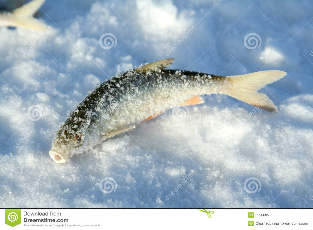 Frozen fish on ice royalty free stock photo image 3896685 for Best frozen fish to buy at grocery store