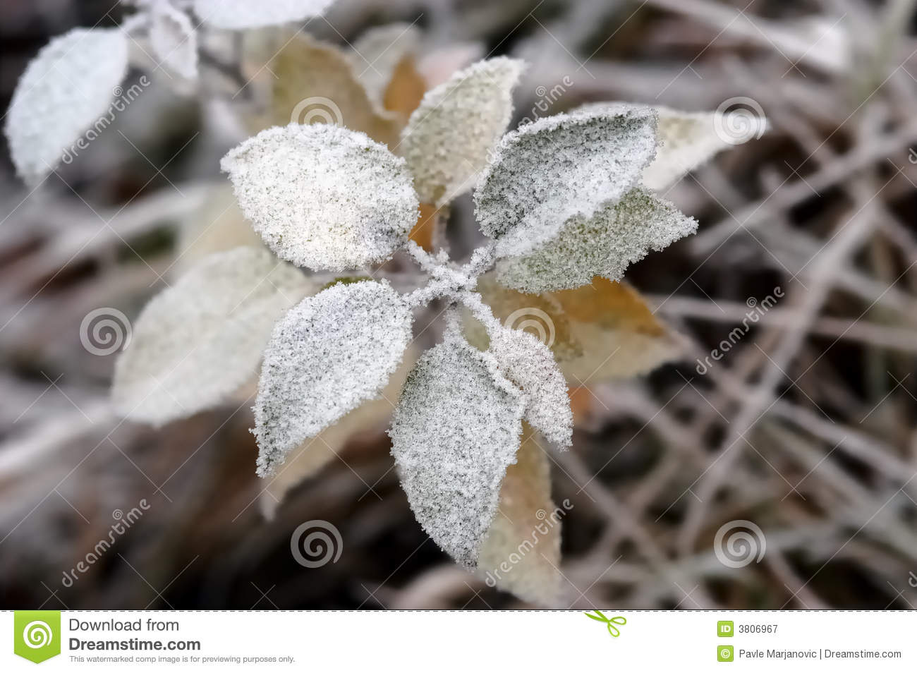 Frozen Flower Royalty Free Stock graphy Image