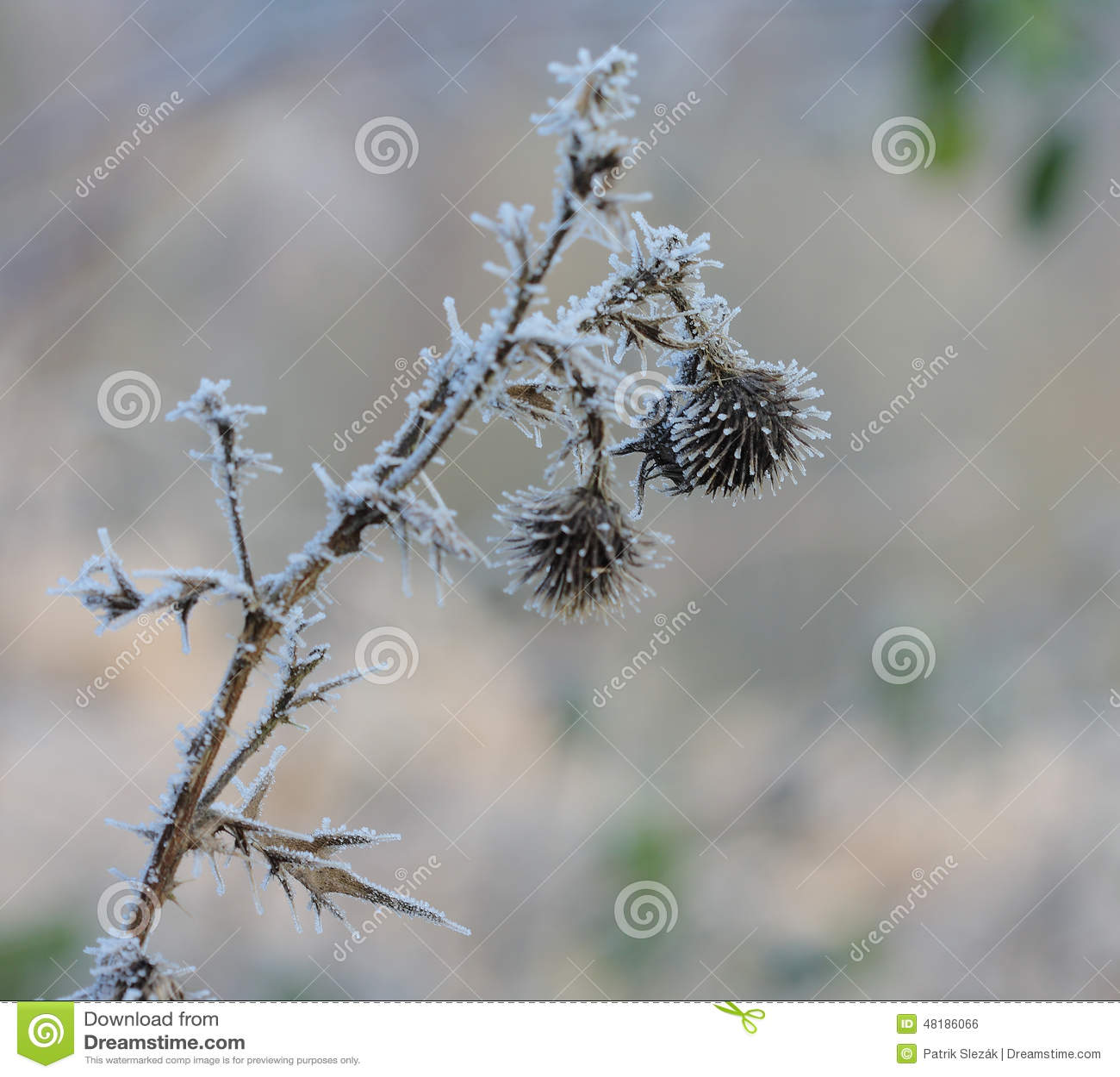 Frozen Flower In December Sun Morning Stock Image