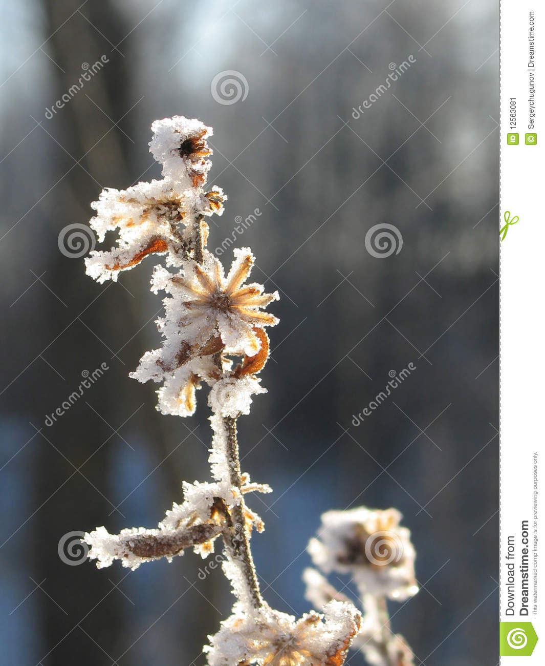 Good Morning Winter Flower : Frozen flower at winter morning stock image of