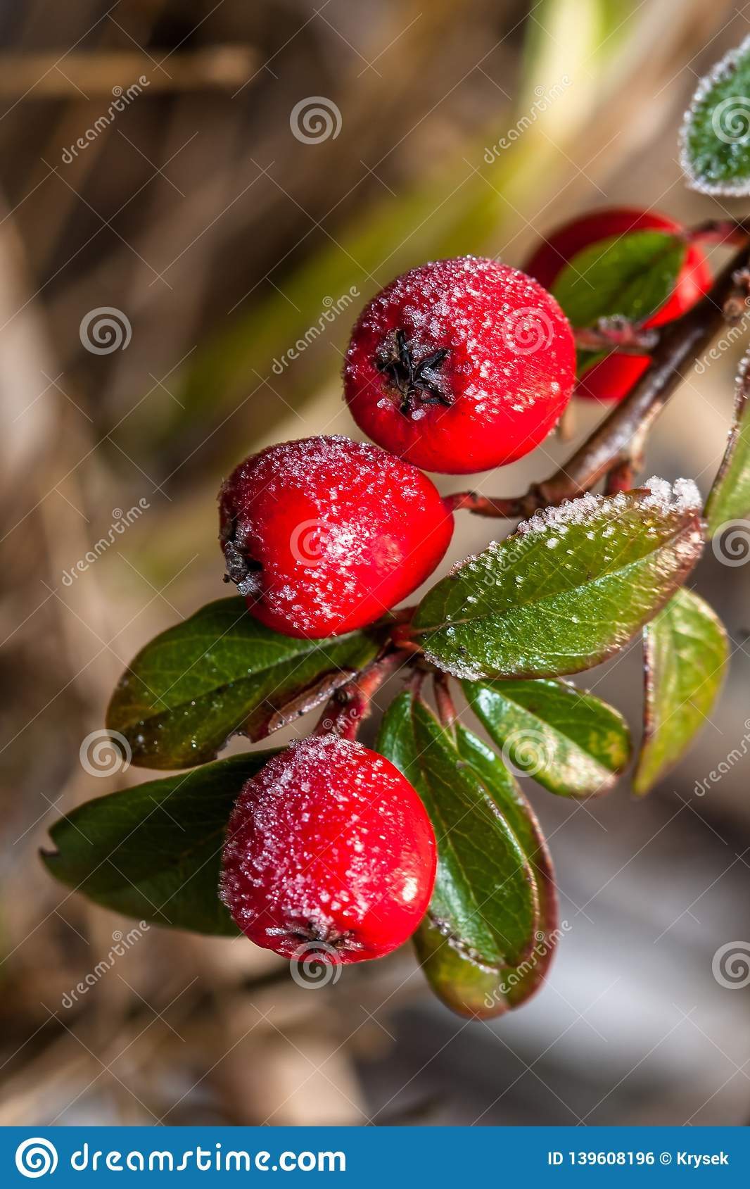 Frozen holly berrie