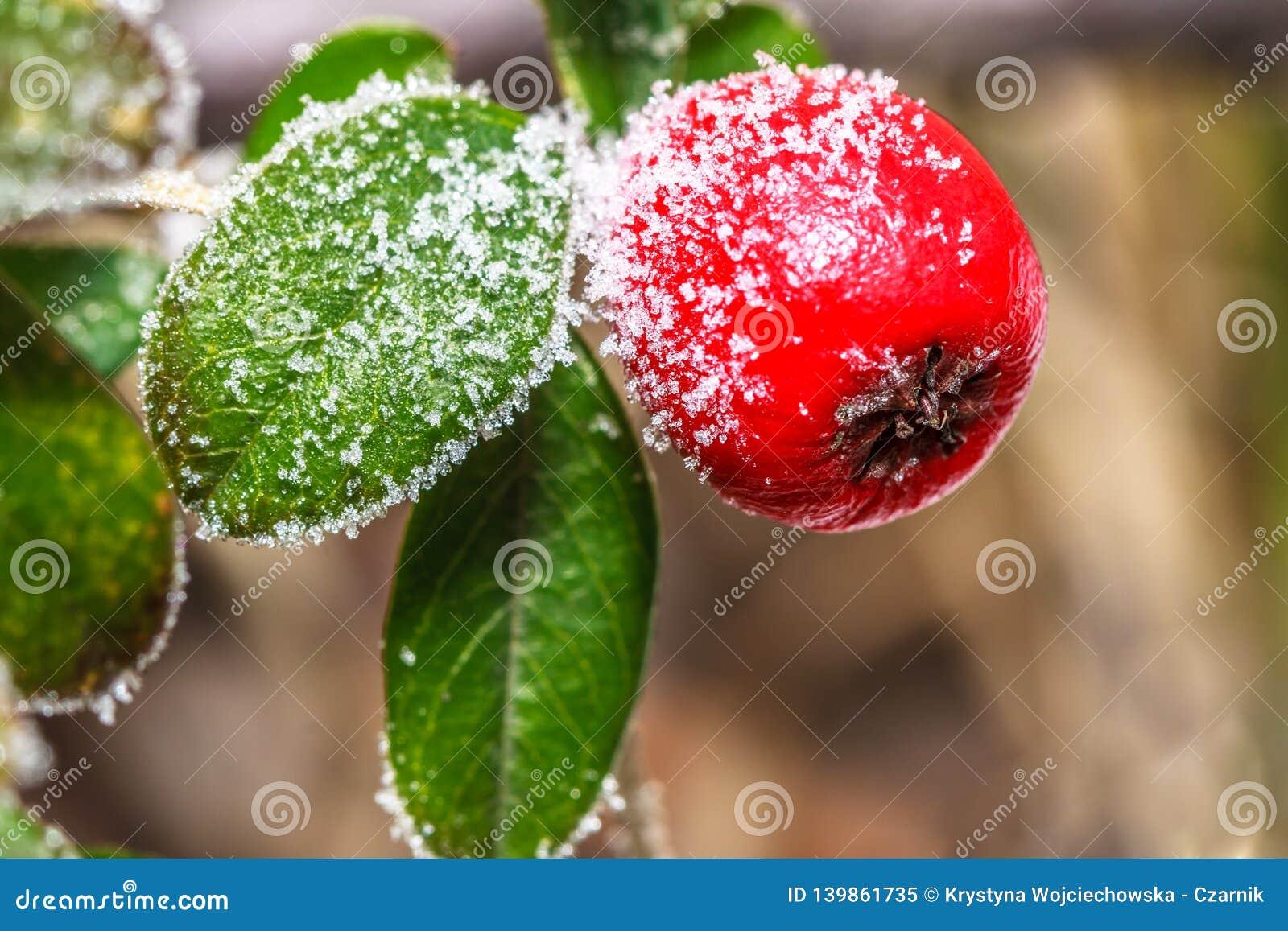 Frozen holly berrie