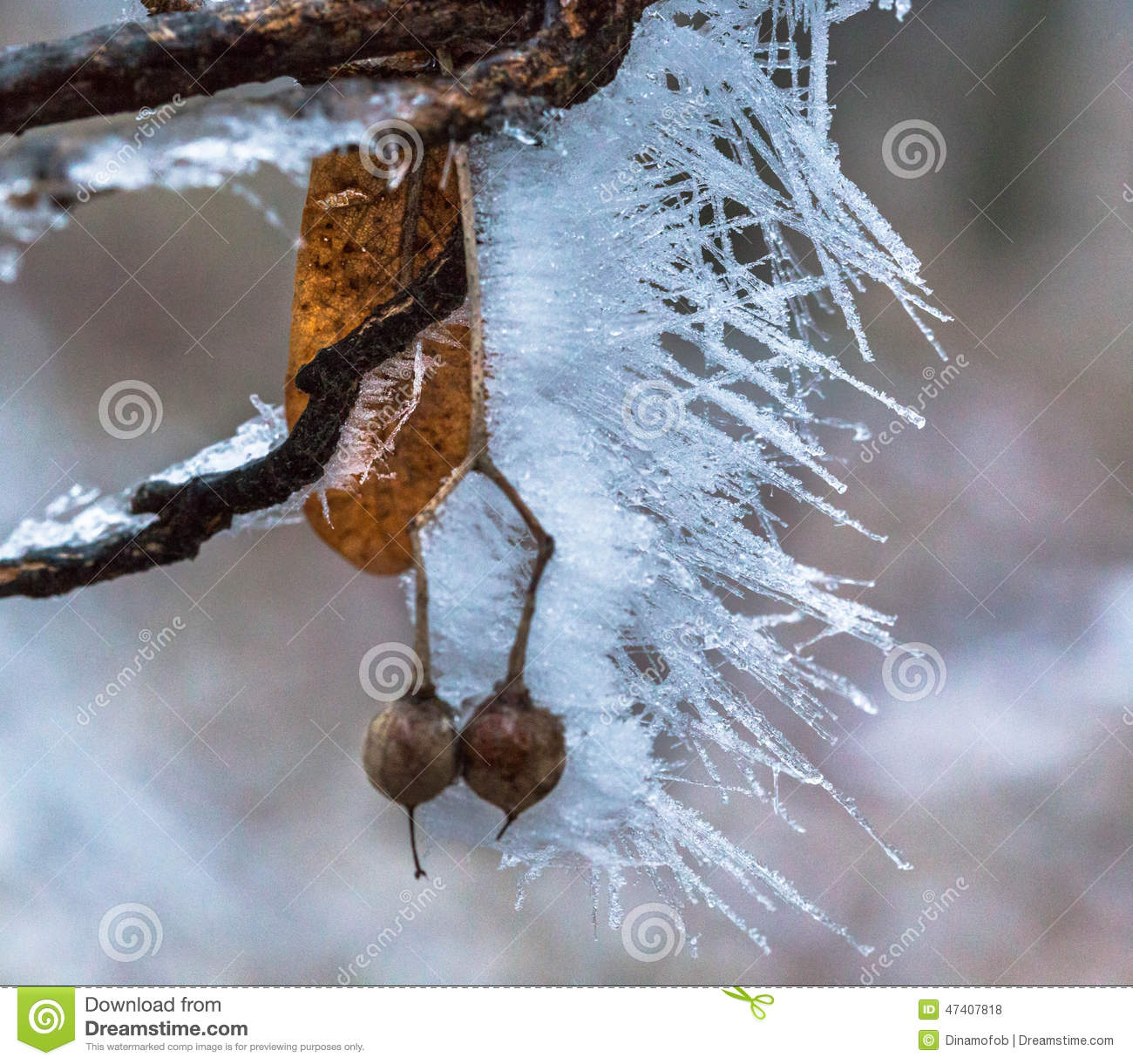 Stock Photo Frozen Nuts Detail Captured Woods Today I Was Walking Image47407818 on cartoon ice pops