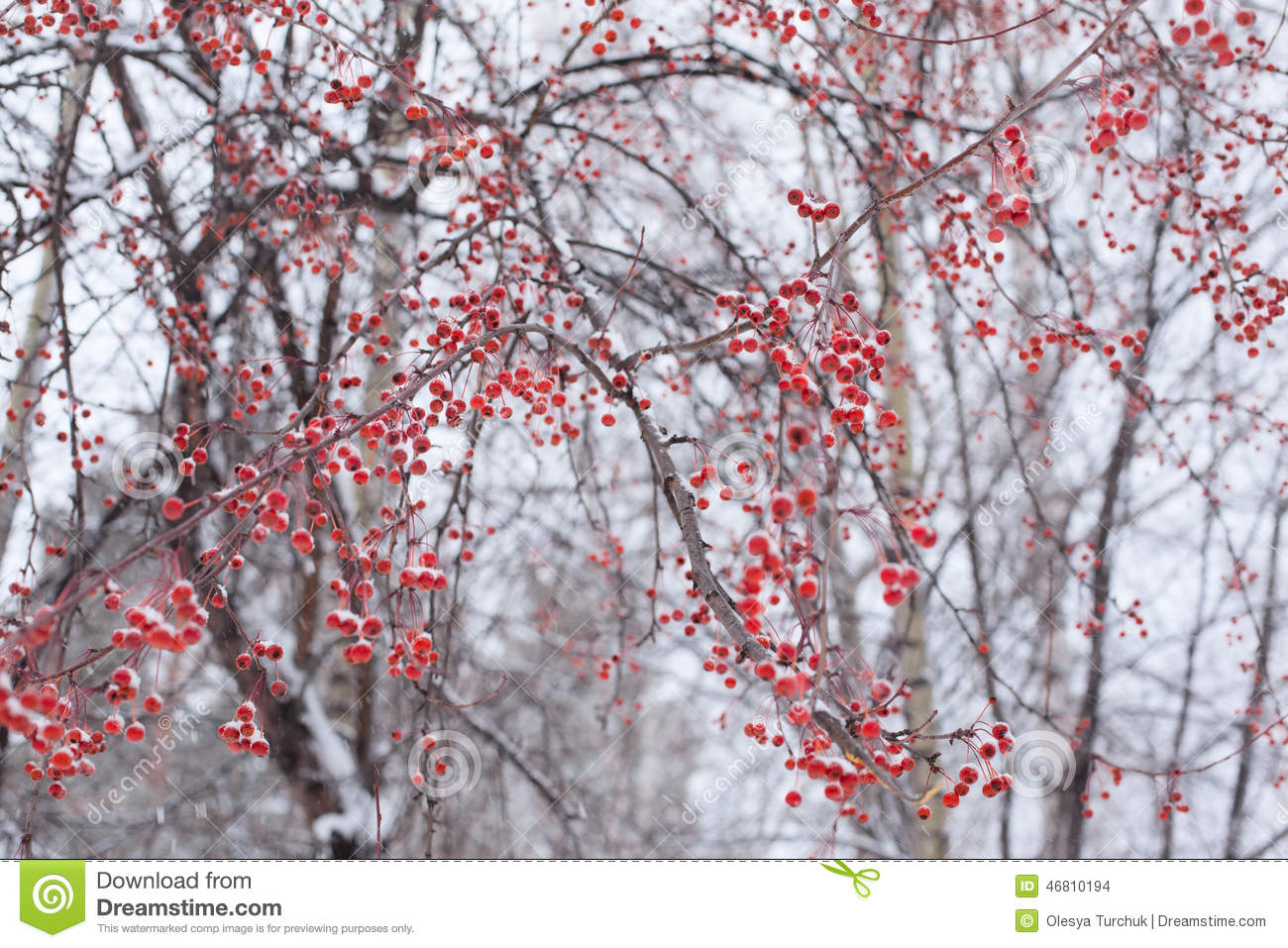 Frozen Snowy Red Berries On Tree Stock Photo Image Of Snowy