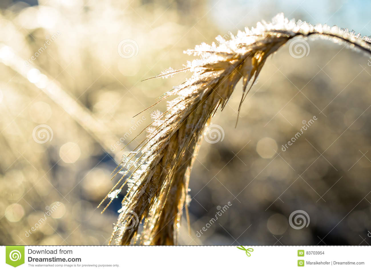 Frozen Wheat Grown With Ice Crystals Stock Photo