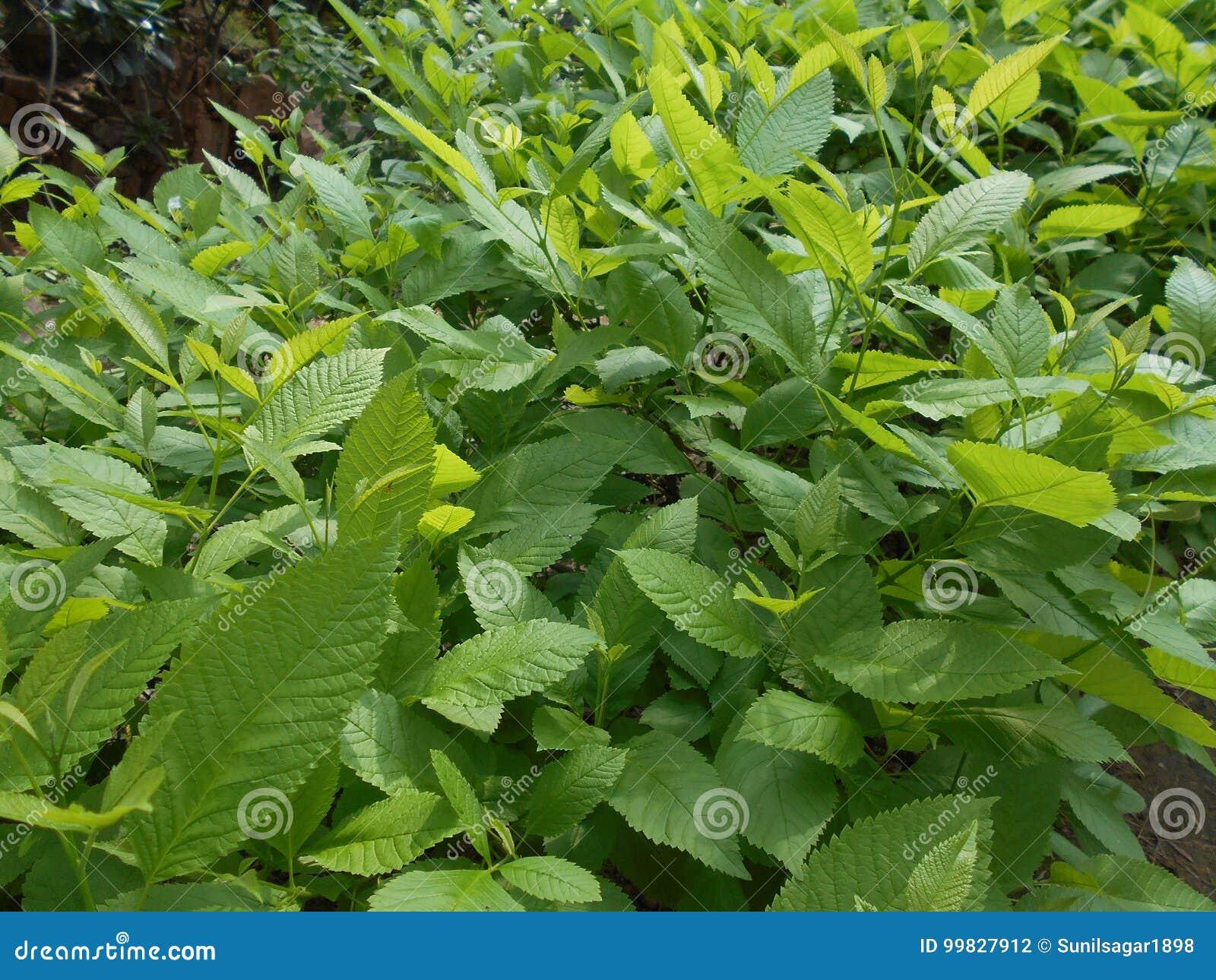 Frsh liście