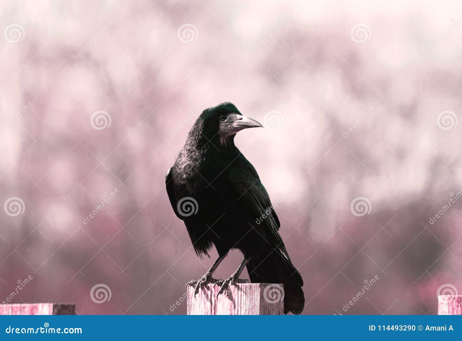 Frugilegus de /corvus de un pájaro del grajo/del cuervo