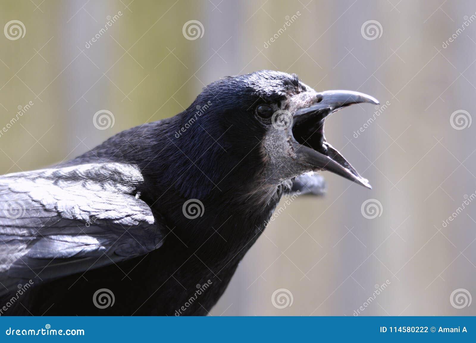 Frugilegus del estafador/de Raven Bird Corvus