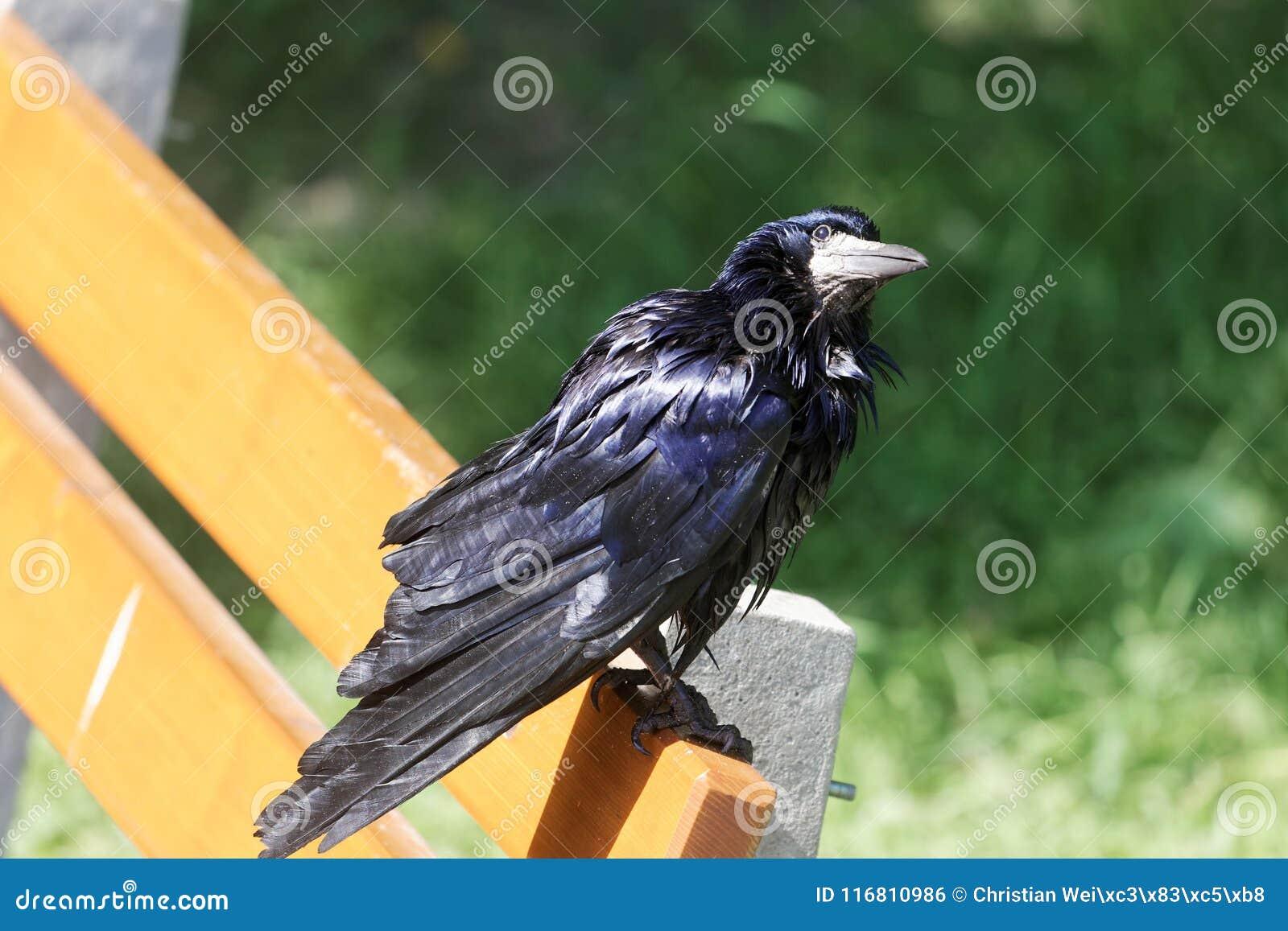 Frugilegus di corvo del corvo su un banco di parco