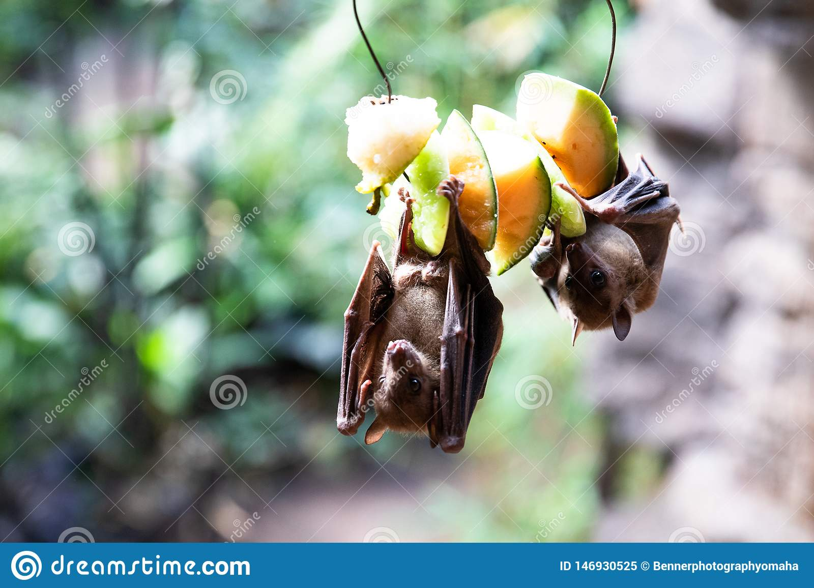 Fruit bats eating on fruit at the zoo