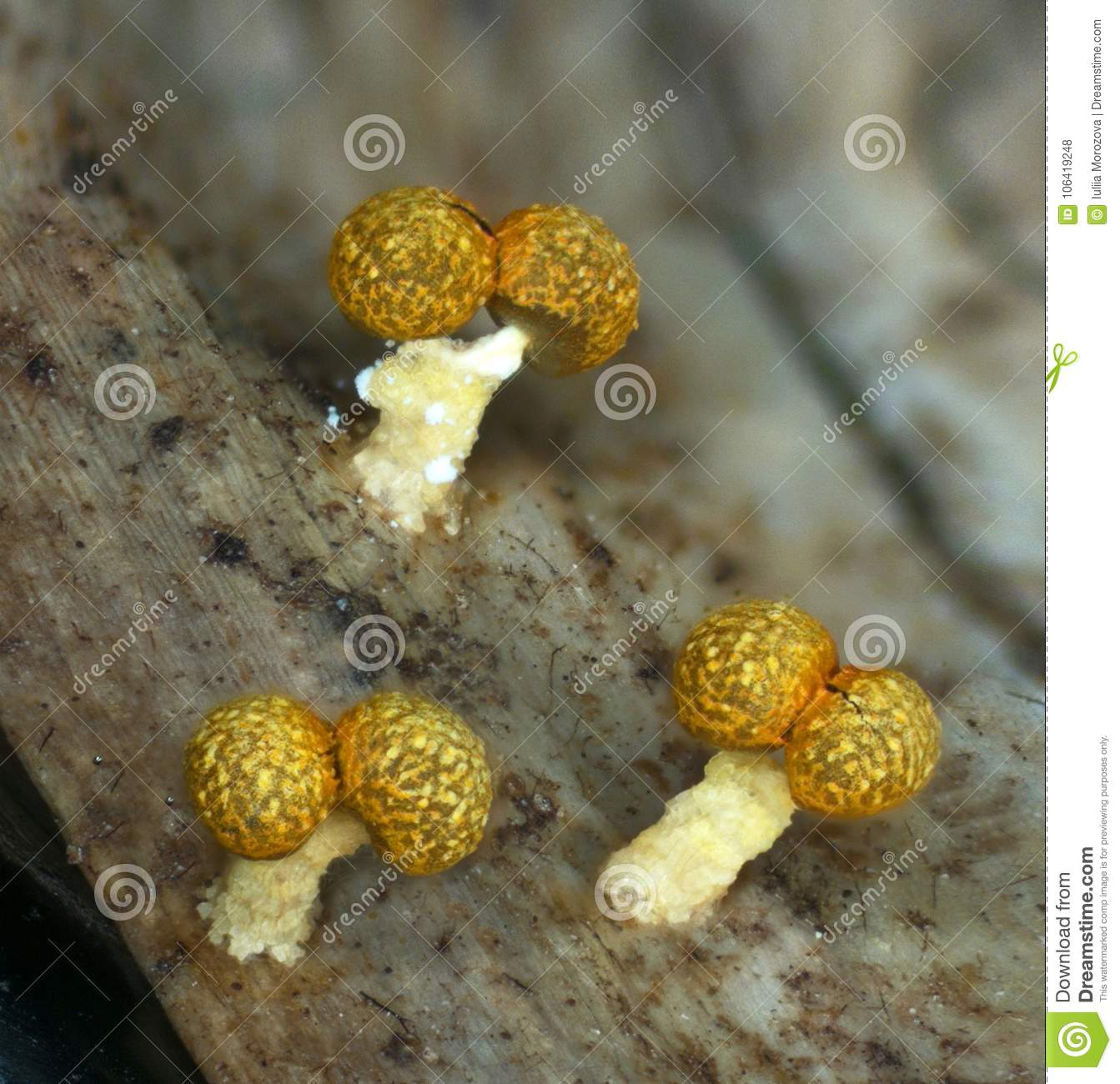 Fruit Bodies Of A Slime Mold Physarum Polycephalum Stock Photo