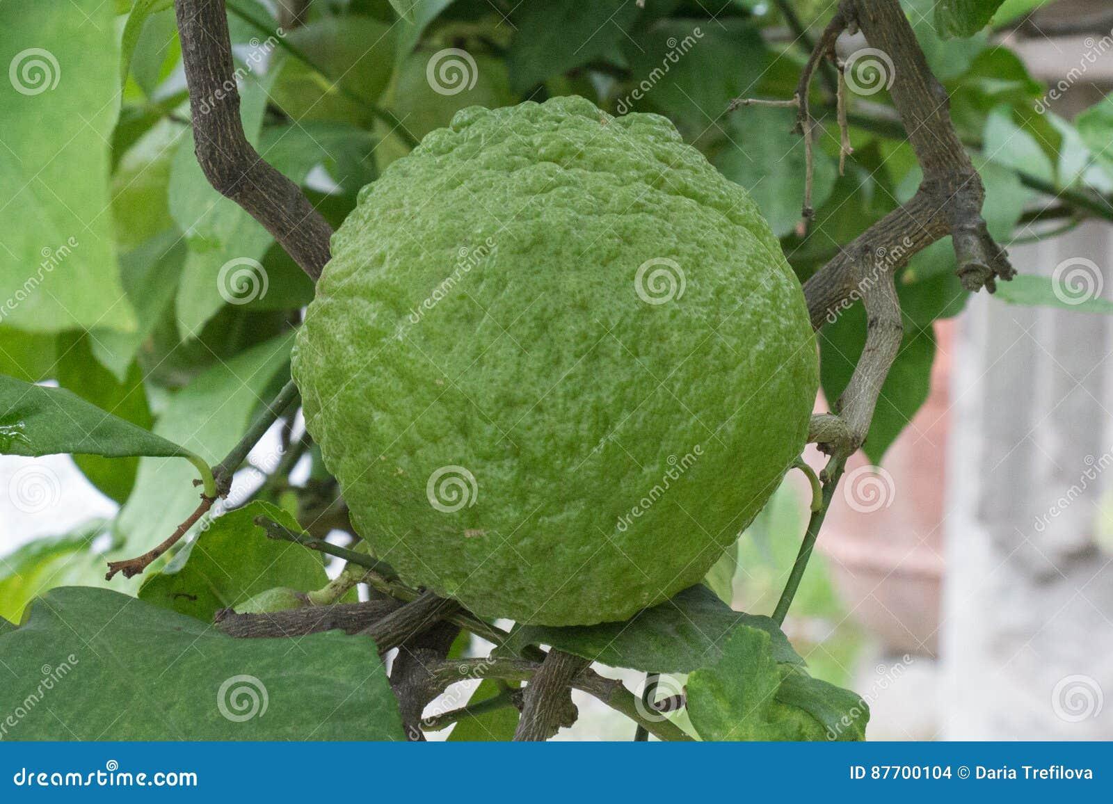 Fruit déformé de citron
