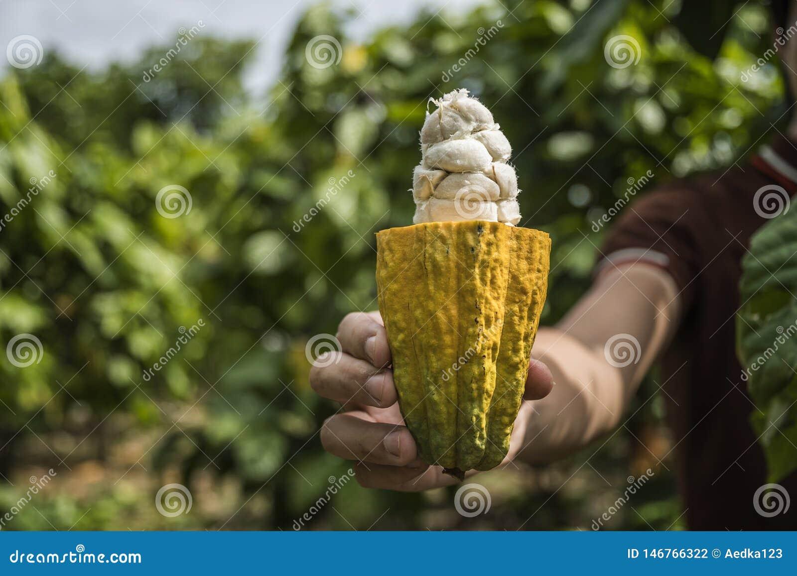 Fruit de cacao, cosse fraîche de cacao dans des mains