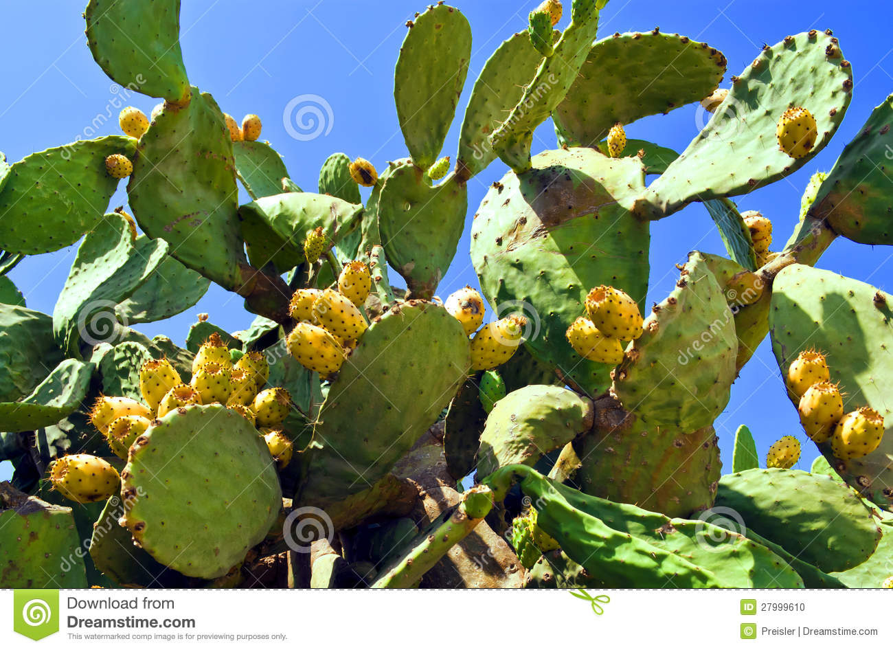 fruit de cactus figue de barbarie photo stock image 27999610. Black Bedroom Furniture Sets. Home Design Ideas