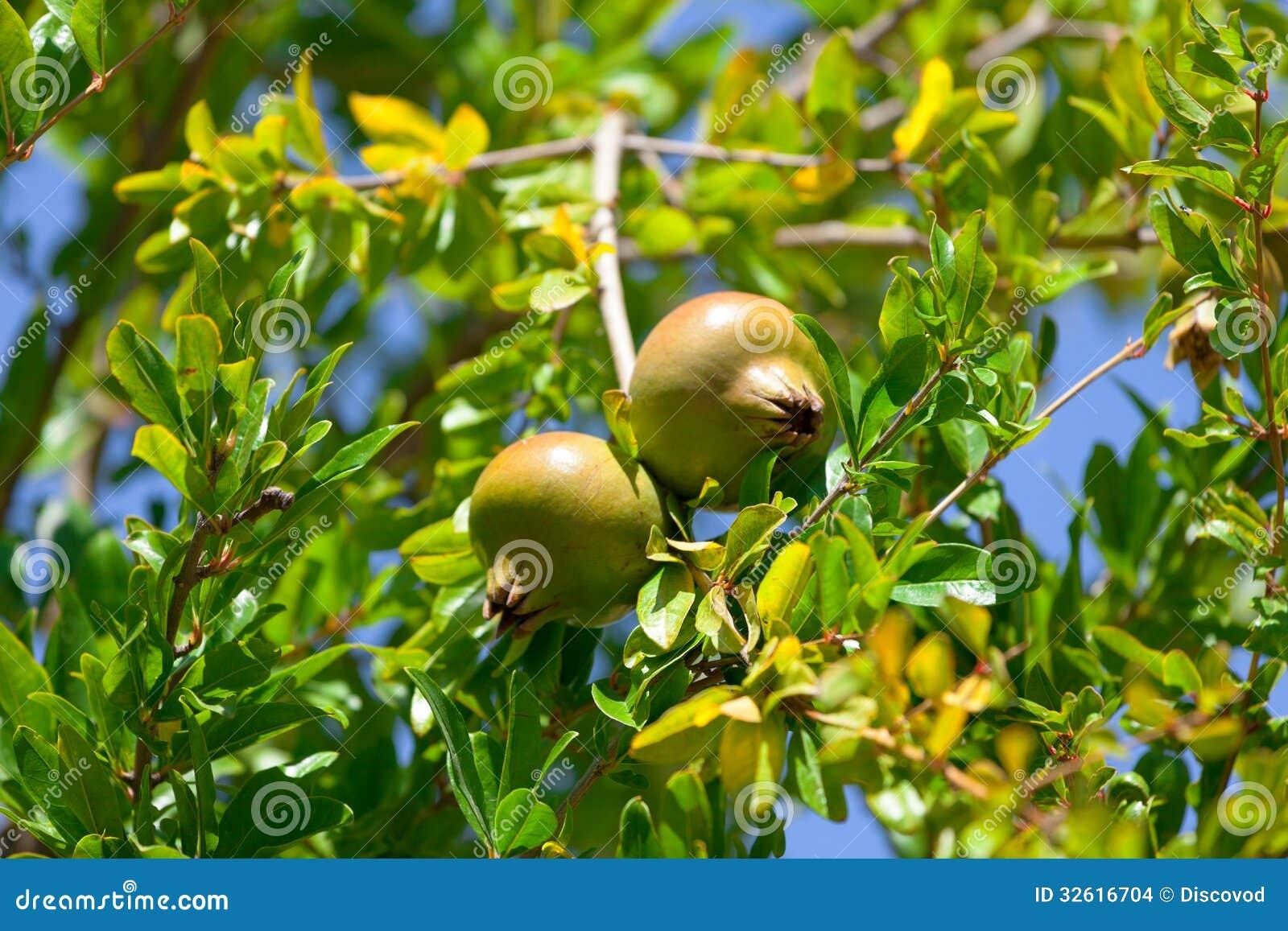Fruit de grenade sur l 39 arbre vert images stock image 32616704 - Acheter des grenades fruits ...