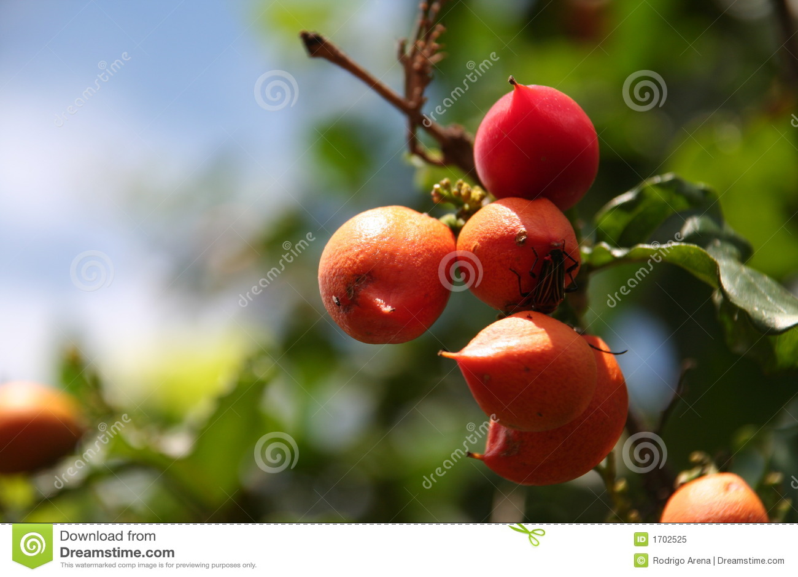 Fruit de Guarana