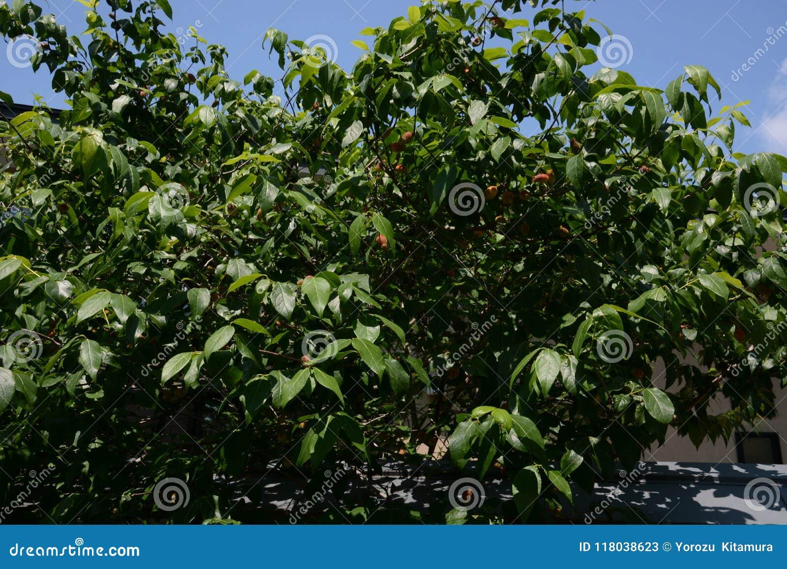 Fruit de Wintersweet