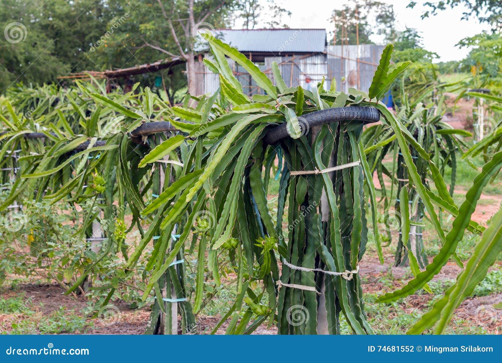 Fruit du dragon ou pitaya sur l 39 arbre dans le jardin photo stock image 74681552 - Arbre fruit du dragon ...