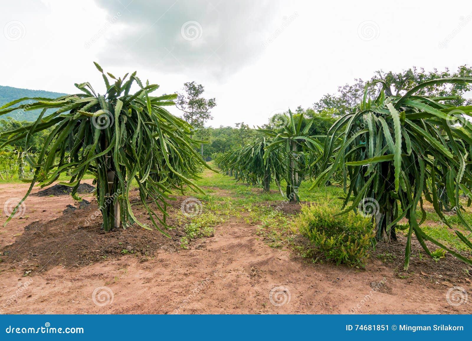 Fruit du dragon ou pitaya sur l 39 arbre dans le jardin image stock image du r coltez nourriture - Arbre fruit du dragon ...