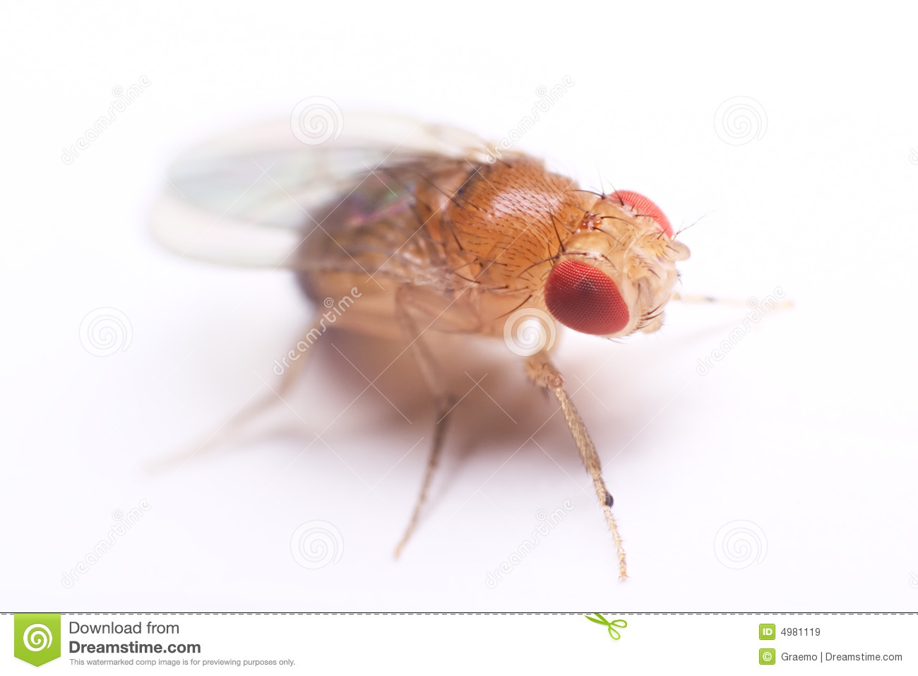 Image result for fruit fly images free