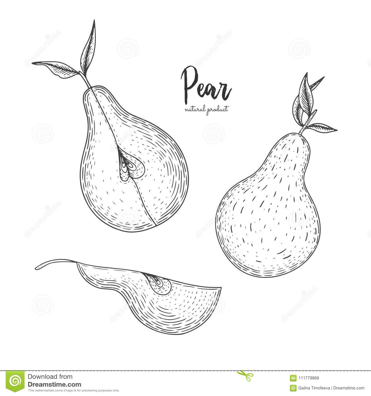 Fruit illustration with pear in the style of engraving. Detailed vegetarian food. Hand drawn elements for menu, greeting