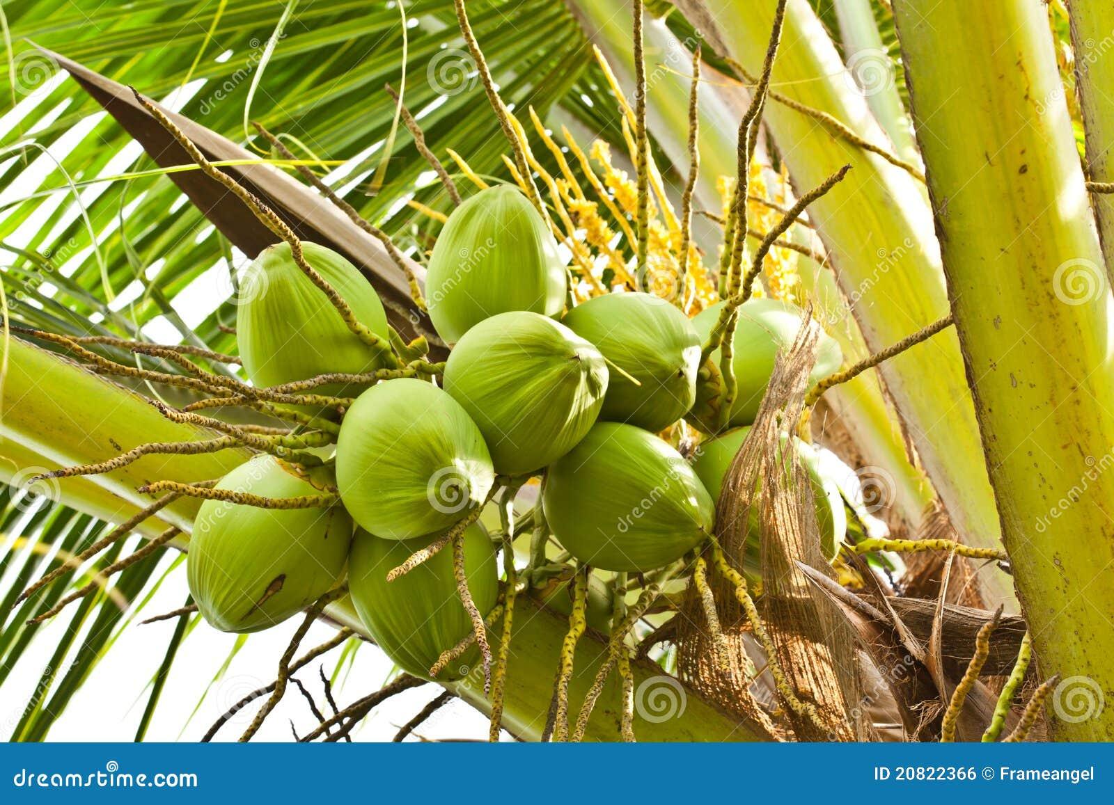 Fruit noix de coco verte image libre de droits image 20822366 - Arbre noix de coco ...