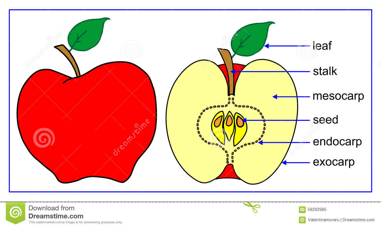 The parts of the fruit - apple (Malus pumilla).