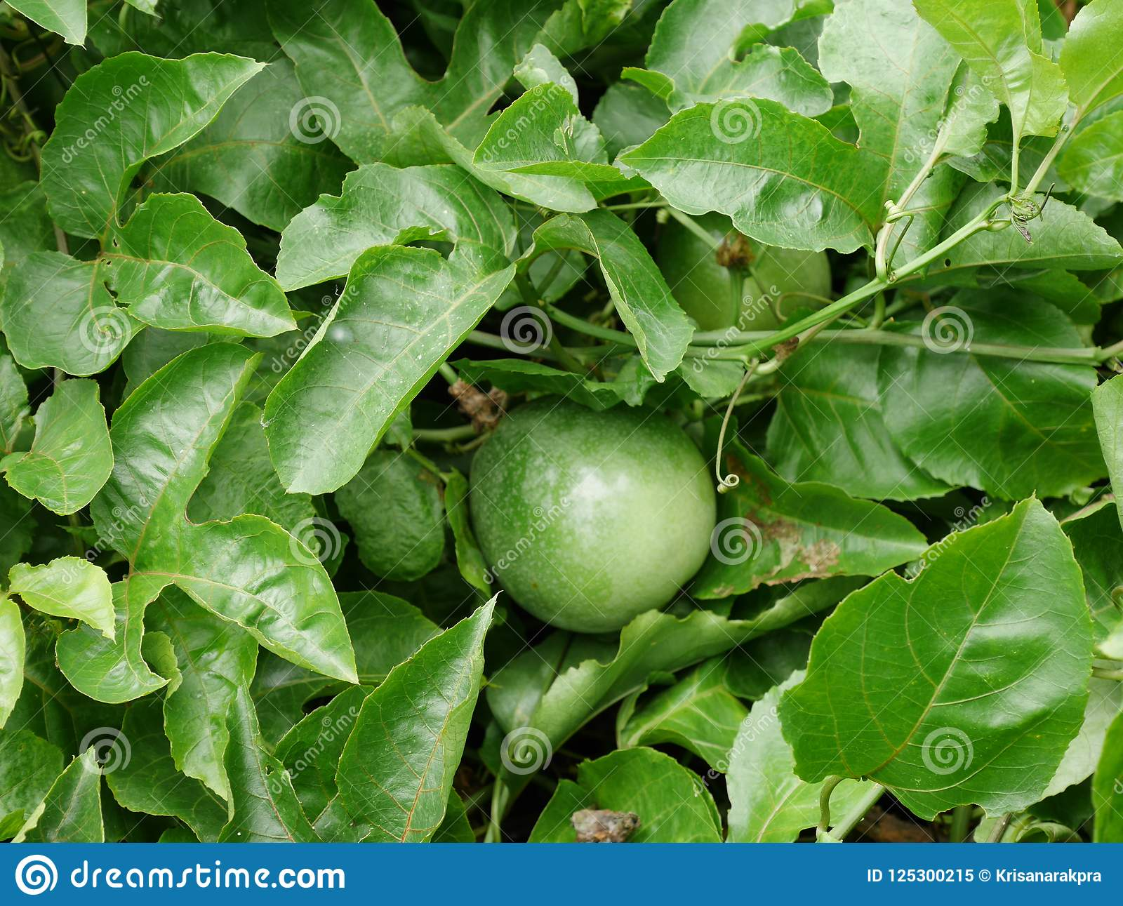 Fruit, passion, food, green, vine, white, fresh, plant, tree, garden, background, passiflora, farm, passionfruit, natural, flower,