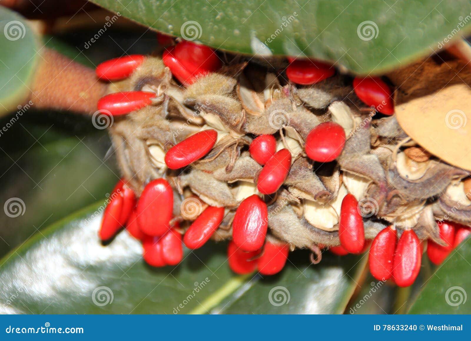 Fruit with red seeds magnolia grandiflora southern - Semilla de magnolia ...