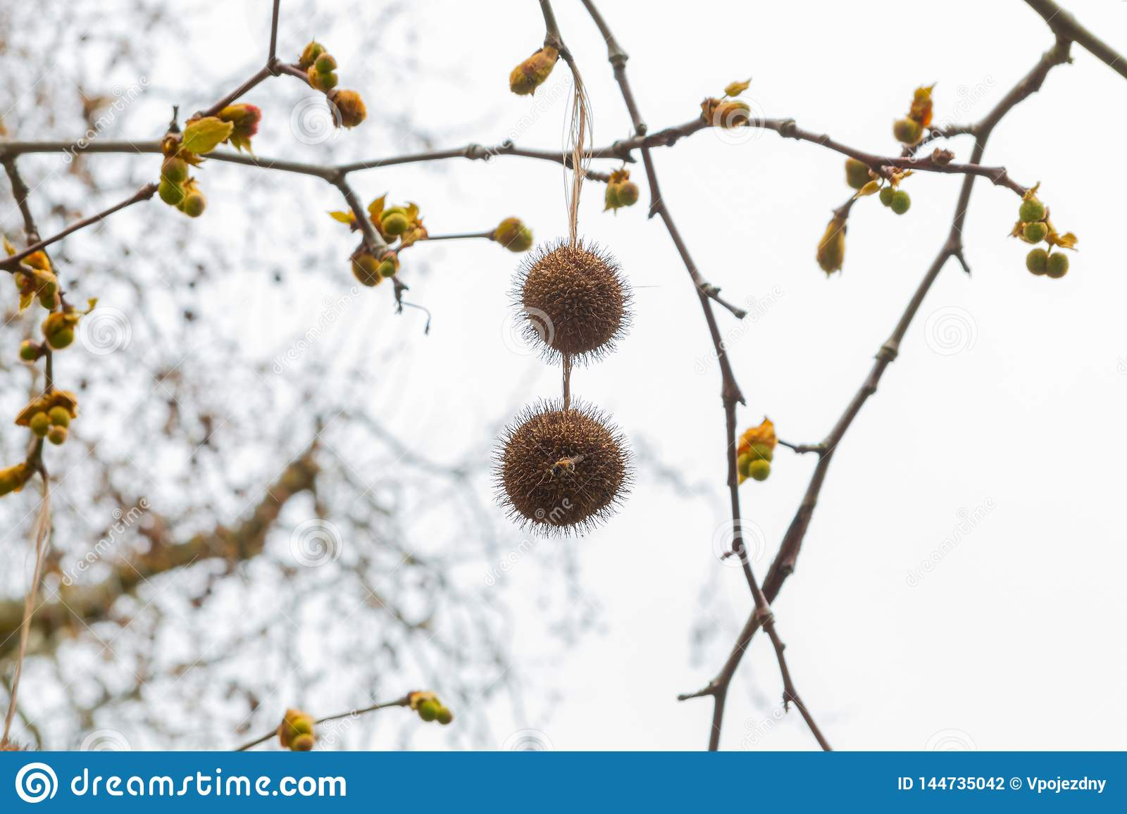 Fruit on a tree in Bath platanus orientalis