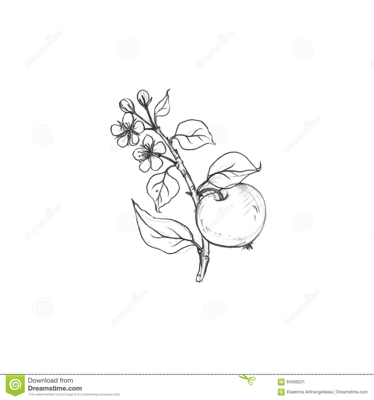 Apple tree branch with fruits leaves buds and flowers drawing by graphite pencilisolated hand drawn elements
