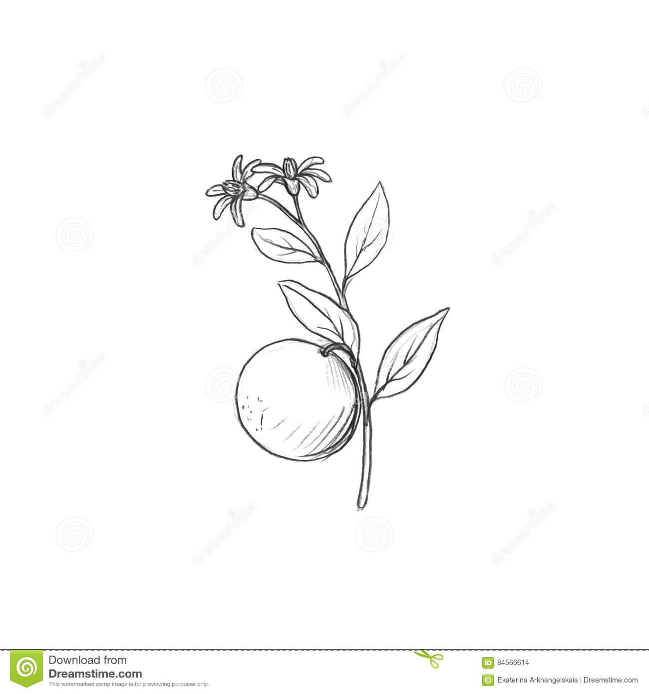 Orange tree branch with fruits leaves buds and flowers drawing by graphite pencilisolated hand drawn elements