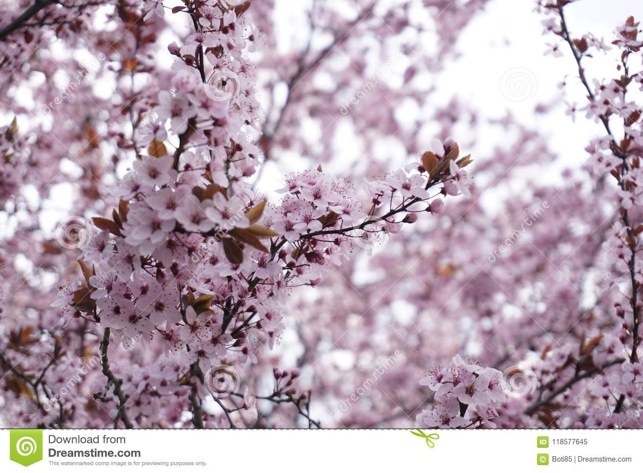 Fruit Tree With Pink Blossom Stock Image Image Of Flowers