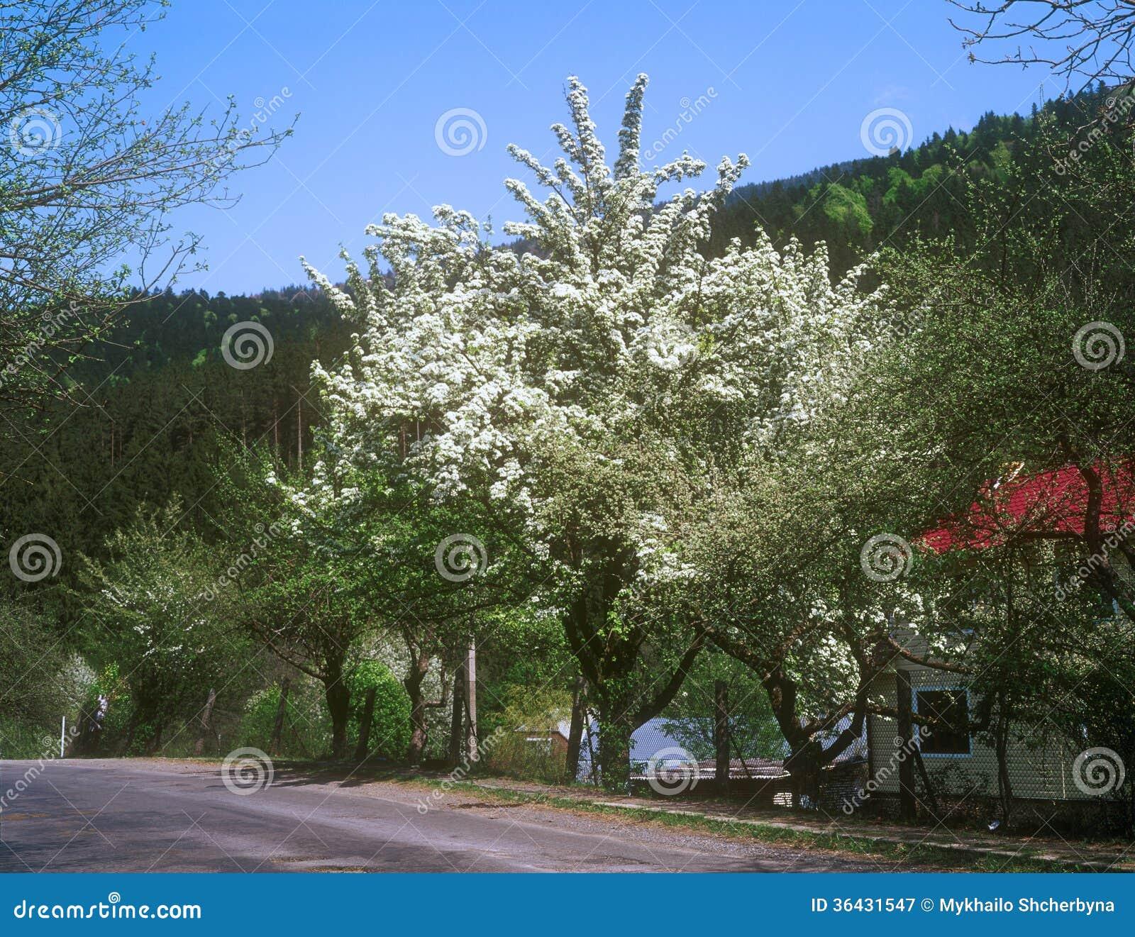 Albero Con Fiori Bianchi fruit tree tree with white blossoms in countryside. stock