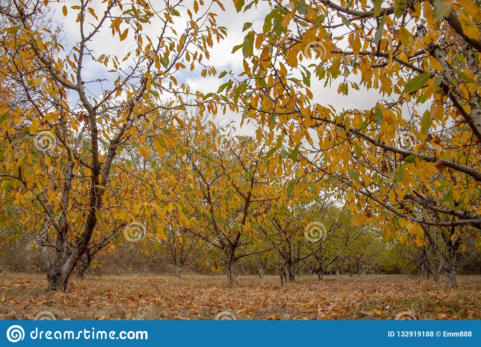 Fruit Trees With Colorful Autumn Foliage In The Garden ...