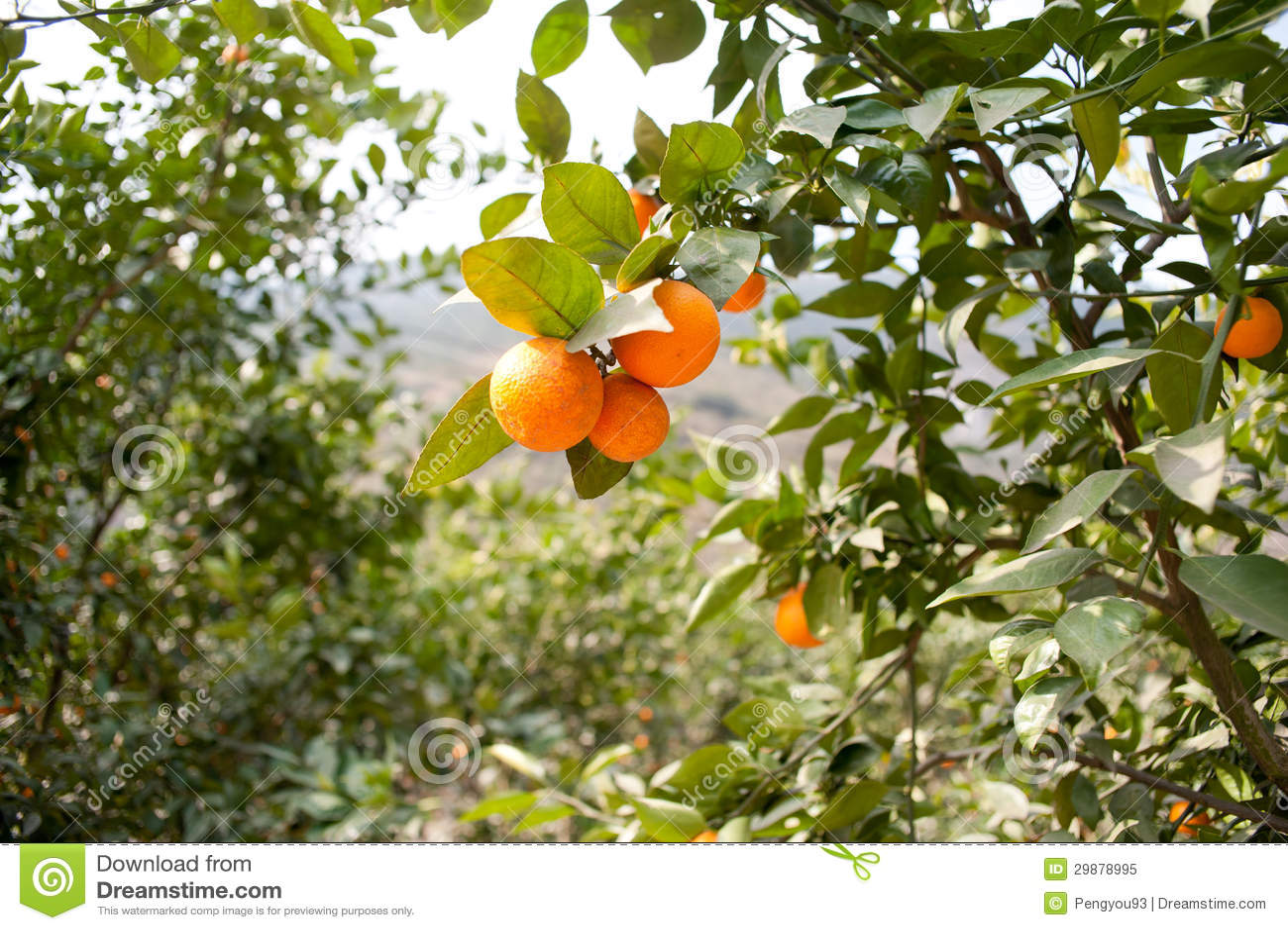 Fruit Trees, Gardens, Orange Tree Royalty Free Stock Photo ...