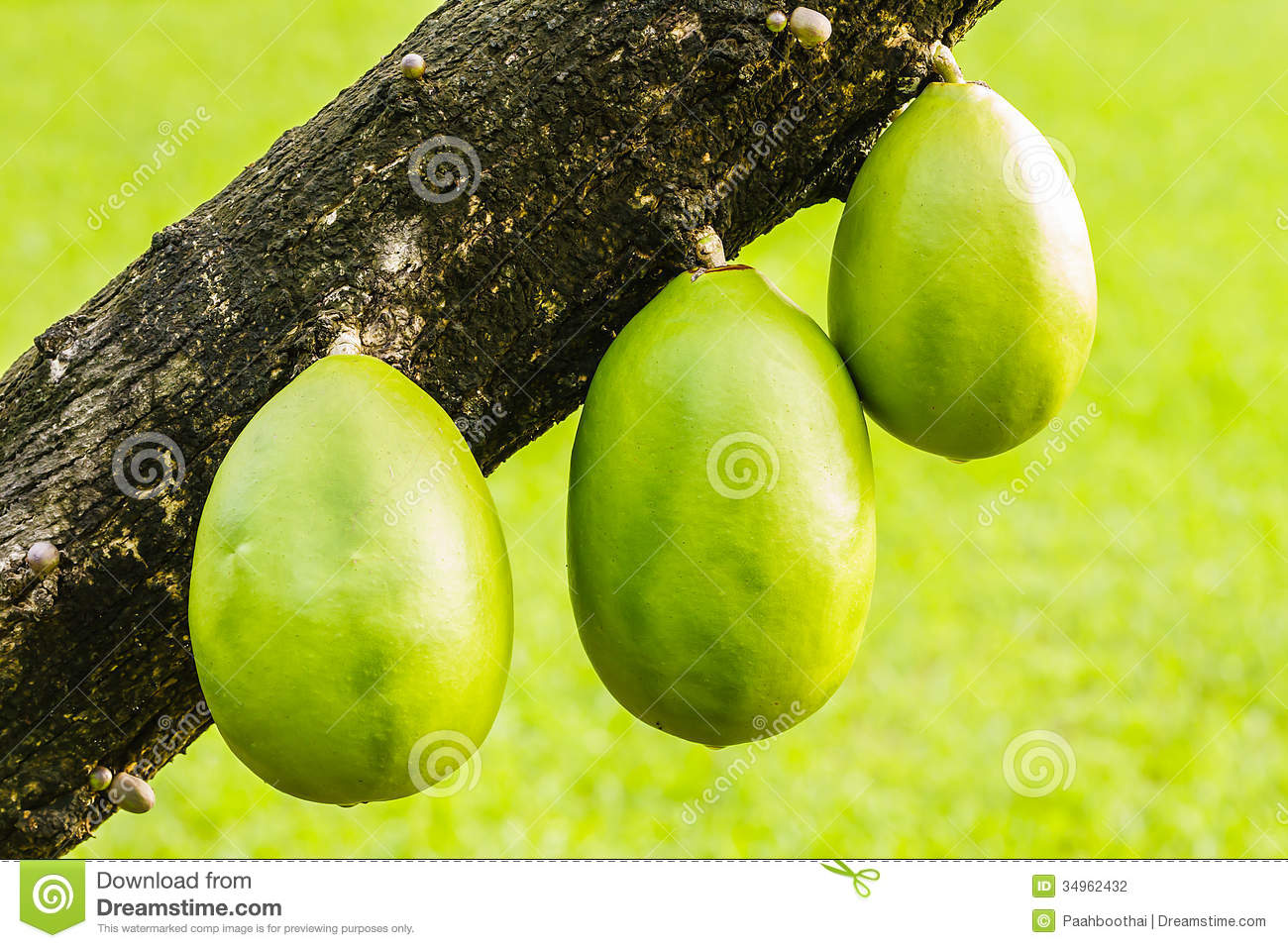 Fruit From Trunk Of Gourd Tree Stock Photography - Image: 34962432