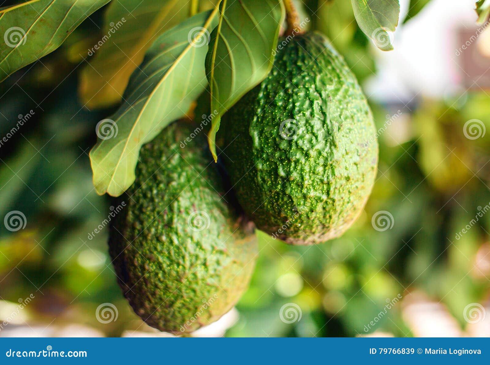 fruit vert d 39 avocat sur l 39 arbre image stock image du collecte culture 79766839. Black Bedroom Furniture Sets. Home Design Ideas