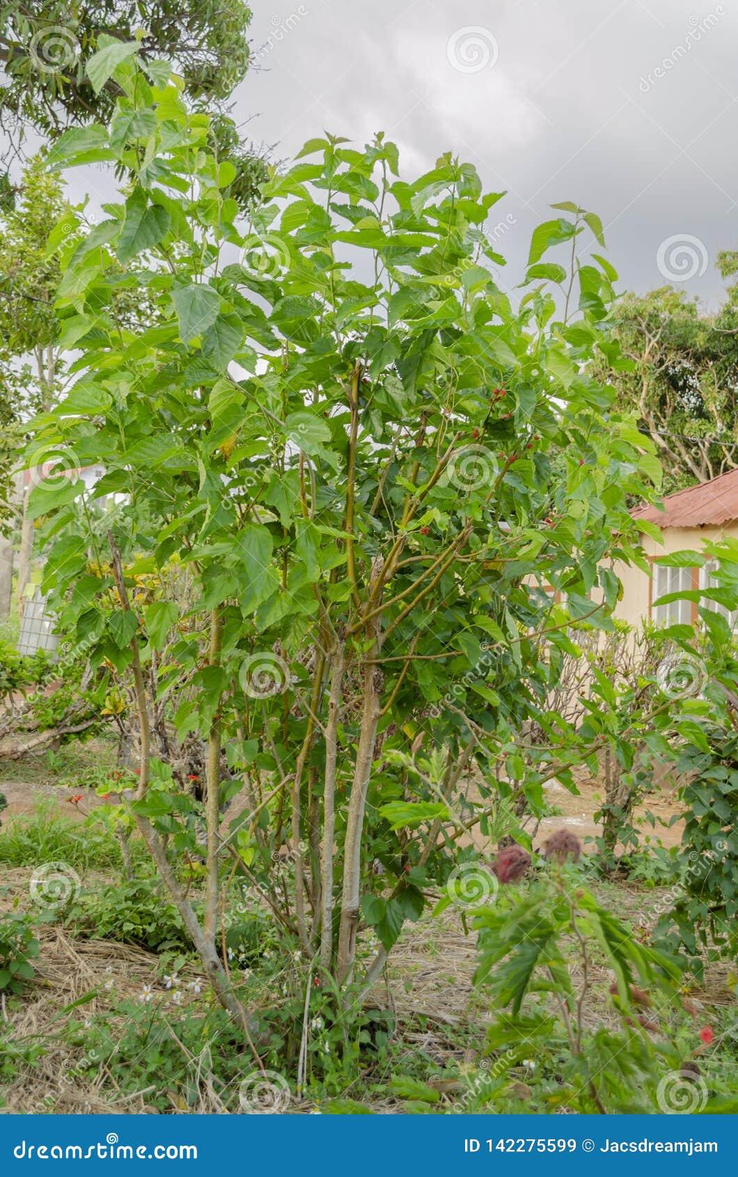 Fruiting Mulberry Tree Stock Image Image Of Many Moreae 142275599