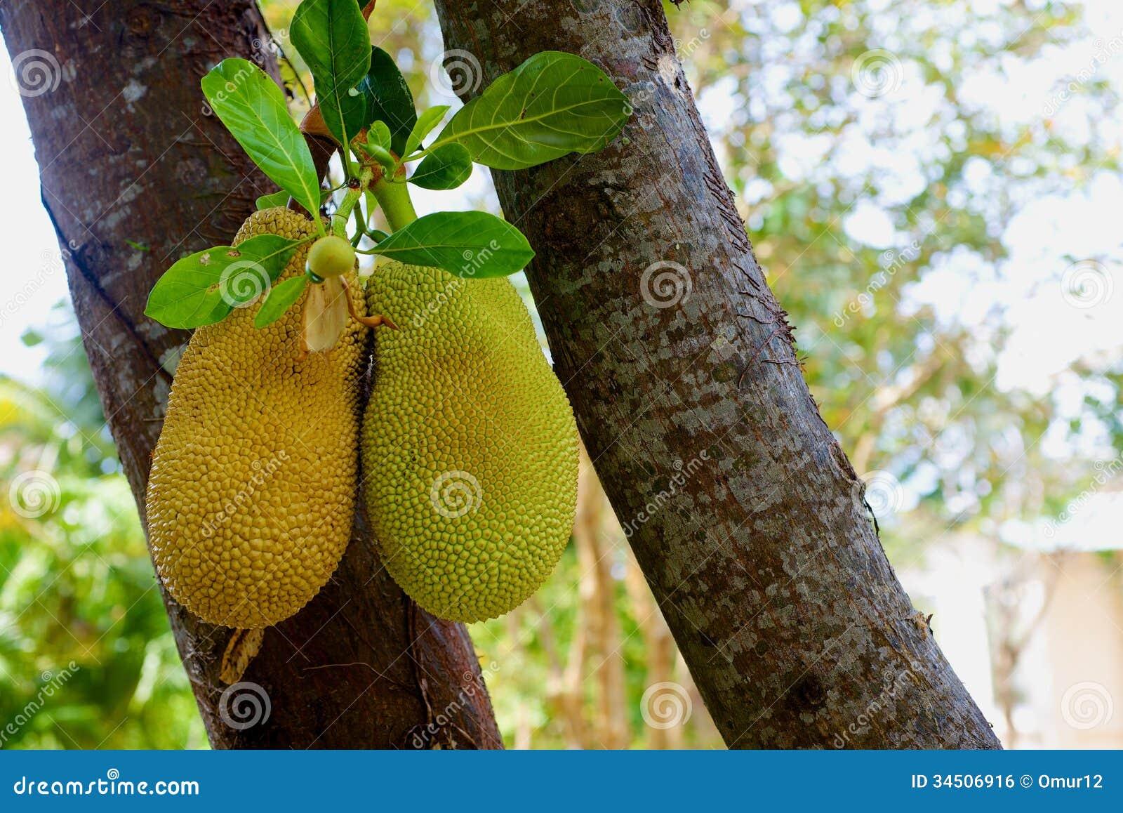 Fruits à pain sur l arbre